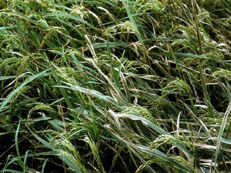 Paddy leaf diseases (image credit- Google)