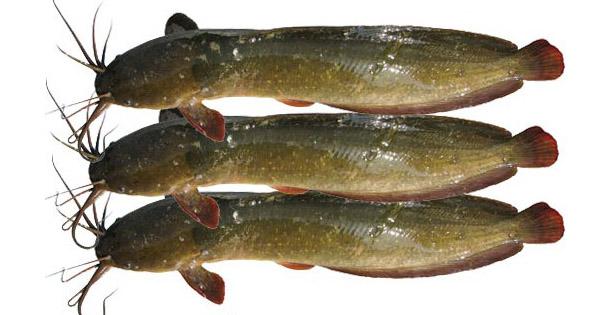 মাগুর মাছ