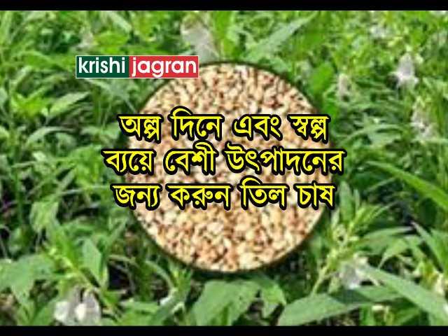 আগত মরসুমে তিলের (Sesame Cultivation) চাষ চাষ করে কৃষক সহজেই উপার্জন করতে পারেন অতিরিক্ত অর্থ