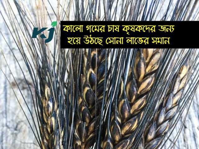 এই জাতের গমের চাষ (Species of wheat) কৃষককে দেবে ২০০ ক্যুইন্টাল পর্যন্ত ফলন