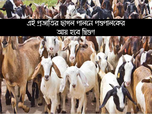 কোন জাতের ছাগল পালন (Profitable goat rearing) করলে বেশী লাভ হবে পশুপালকের? জেনে নিন বিস্তারিত তথ্য