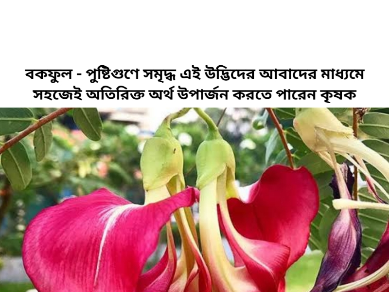 চির-অবহেলিত বকফুল (Cultivation of Sesbania grandiflora): উত্তরণের পথে – বকফুলের আবাদ ও কীট নিয়ন্ত্রণ
