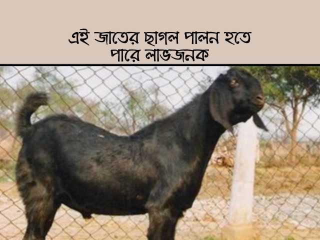 বিটল ছাগলের (Beetal Goat) চাহিদা তুঙ্গে, পশুপালকদের হতে পারে প্রচুর লাভ