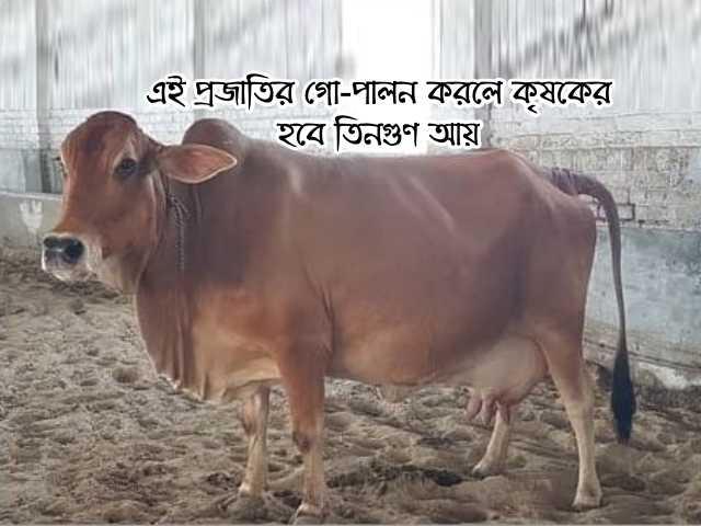 এই প্রজাতির গো-পালন (Cowherd can earn millions) করে পশুপালক আয় করতে পারেন লক্ষাধিক