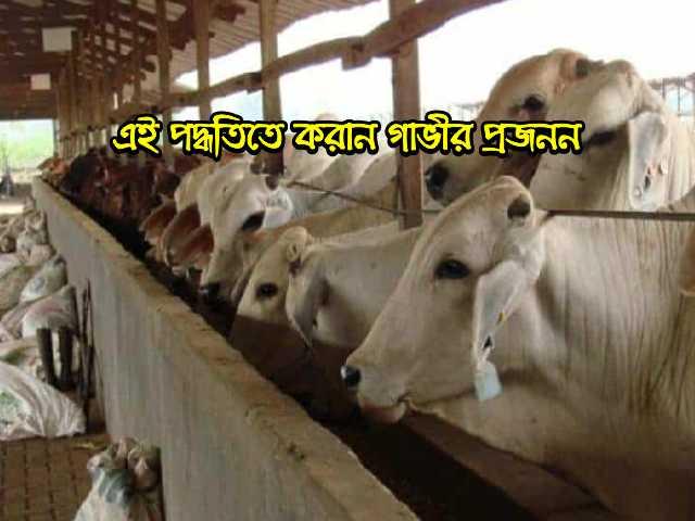 এ আই ব্যবহার করে গাভীর কৃত্রিম প্রজনন (Artificial insemination of cows using AI)