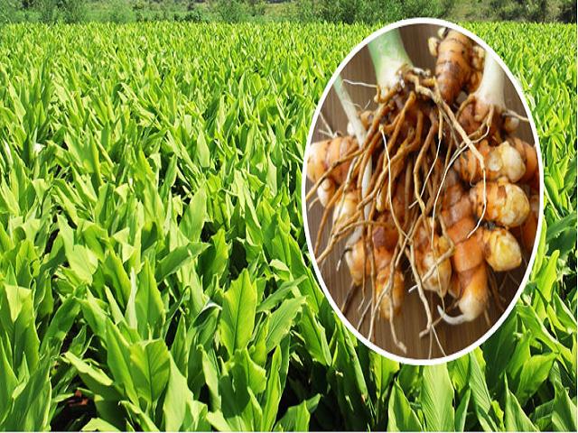 Turmeric yields gold for farmers