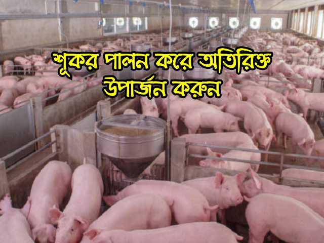 (Pig Rearing) অতিরিক্ত উপার্জনের লক্ষ্যে শূকর পালন