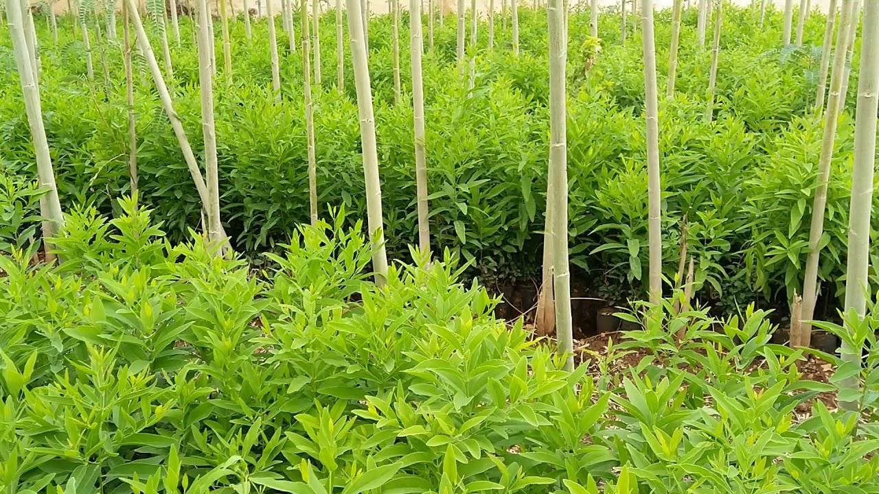 Profitable Sandalwood farming