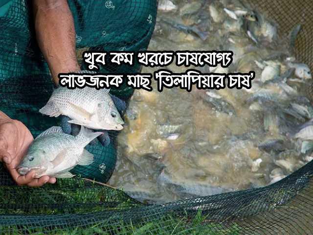 (Profitable fish Tilapia farming) তিলাপিয়া মাছের প্রজনন ও ব্রুডস্টক পরিচর্চা