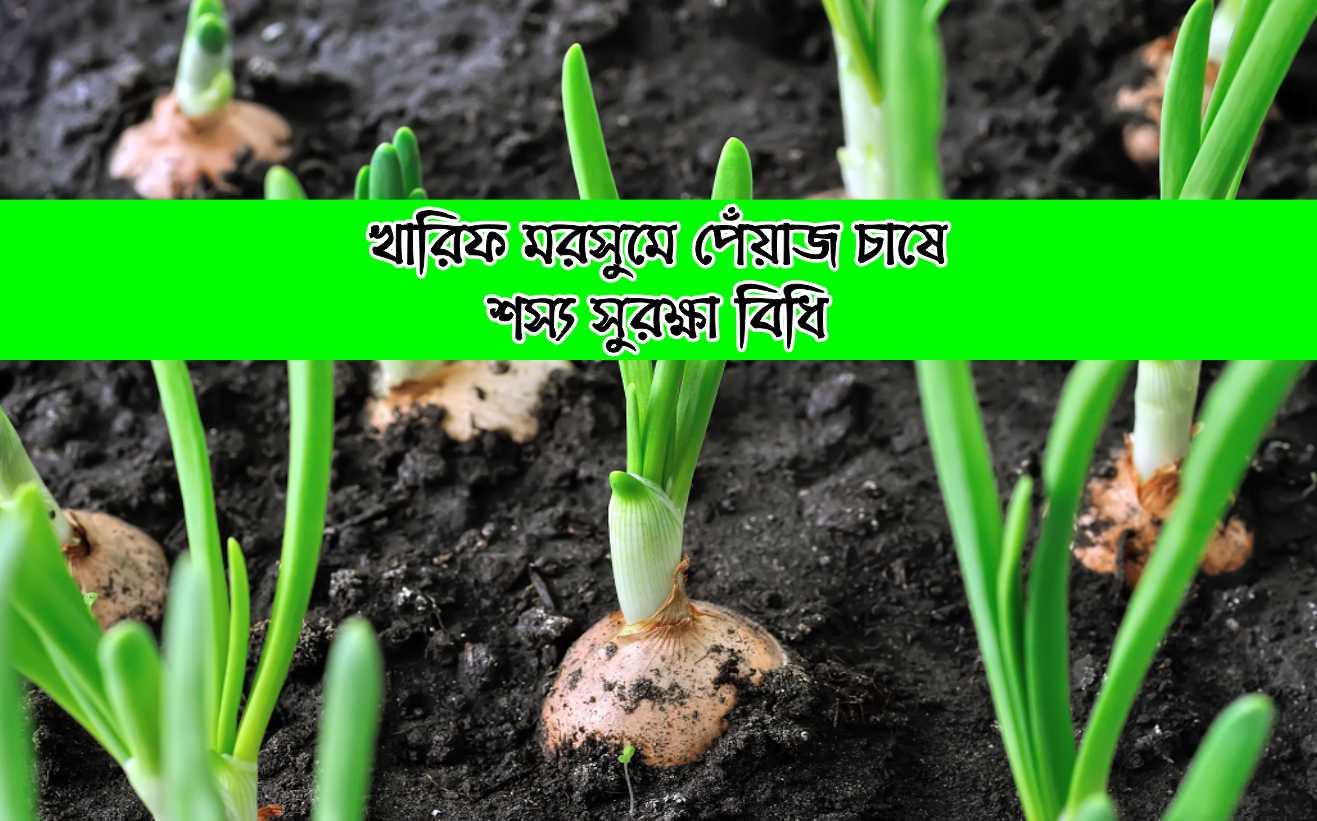 (Kharif onion crop care) বর্ষাকালীন পেঁয়াজের পরিচর্যা ও শস্য সুরক্ষা