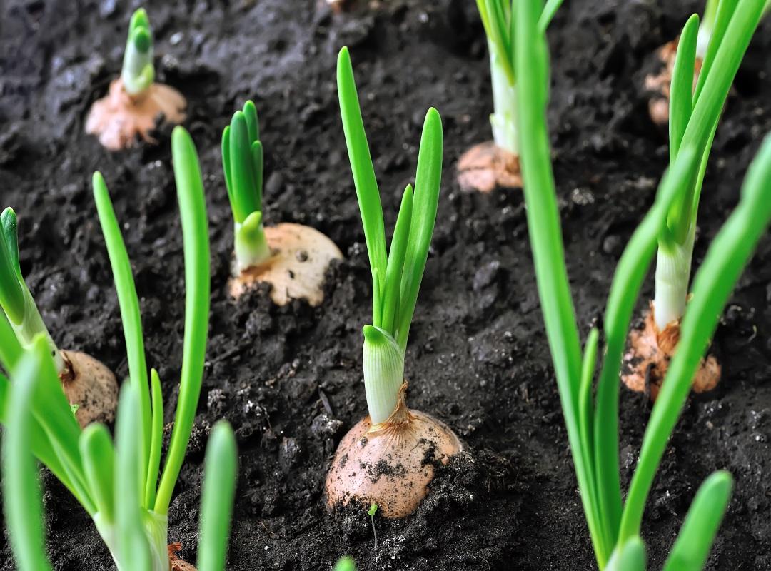 Kharif onoin cultivation