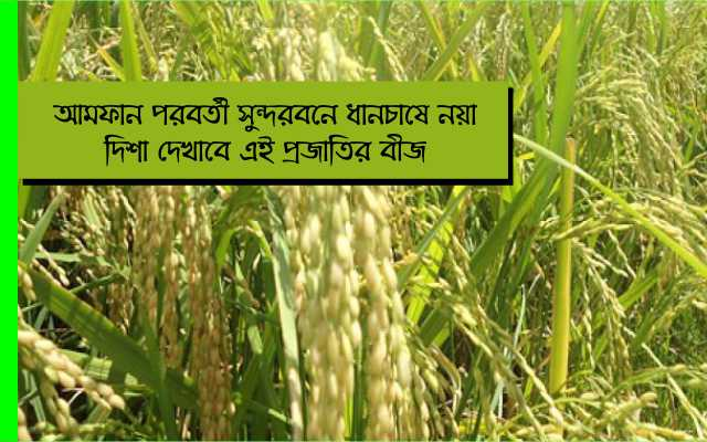 (New seed cultivation in Sunderban) ক্ষেতে মিশেছে নোনাজল, পোক্কালি নিয়ে এল ধানচাষে নয়া দিশা
