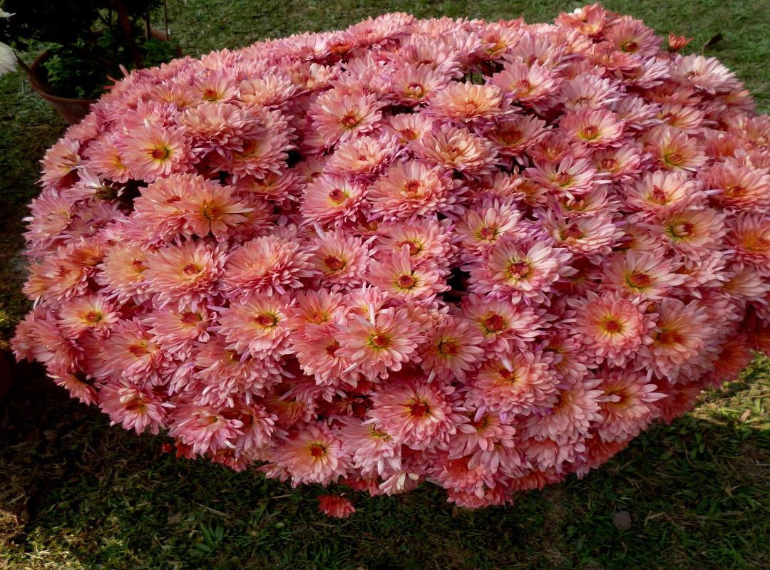 Chrysanthemum flower farming