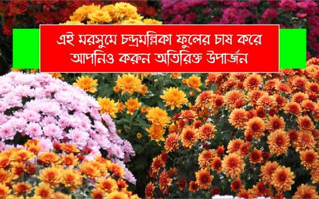 (Chrysanthemum flower cultivation) বৈজ্ঞানিক পদ্ধতিতে চন্দ্রমল্লিকা ফুলের চাষ করে উপার্জন করুন অধিক অর্থ