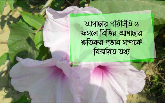 (Effects of weeds on vegetable crops) আগাছার প্রকারভেদ ও সবজী ফসলে আগাছার প্রভাব