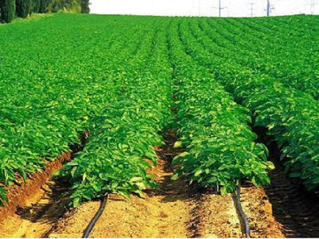 Irrigation system on chilli farm