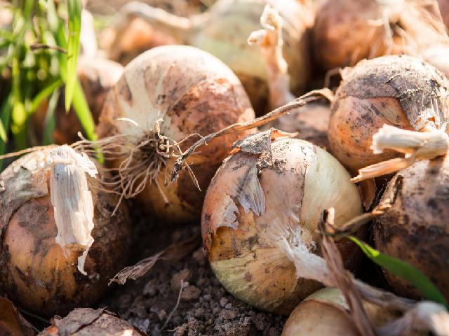kharif onion