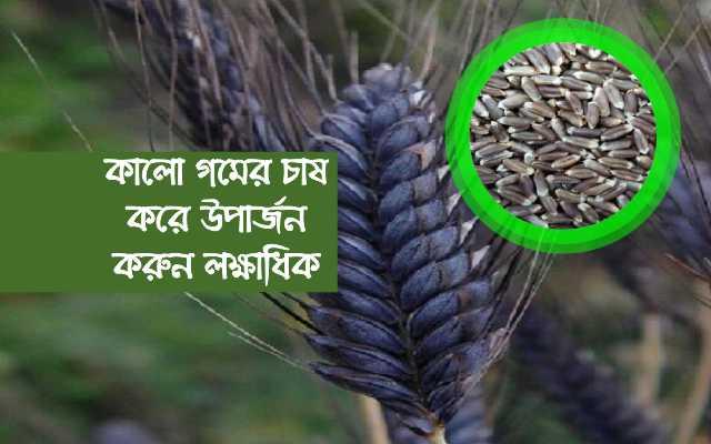 (Black wheat cultivation) গমের এই নতুন জাতের চাষ করে কৃষকরা করুন অতিরিক্ত উপার্জন