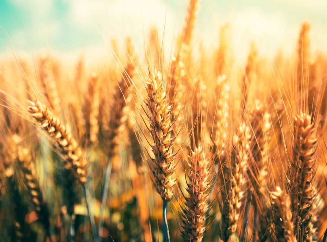 Wheat species