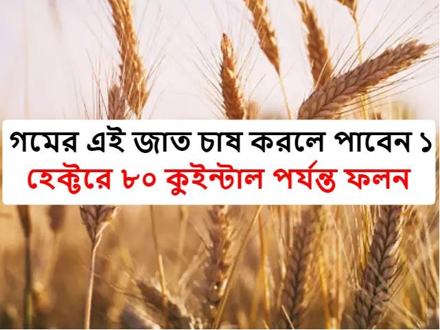 (Karan Vandana) এই প্রজাতির গম চাষে ফলন হবে ৮০ কুইন্টাল পর্যন্ত