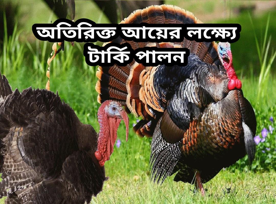 (Turkey bird rearing) টার্কি পালন করে আয় করুন লক্ষাধিক