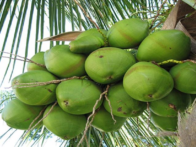 Hybrid coconut tree