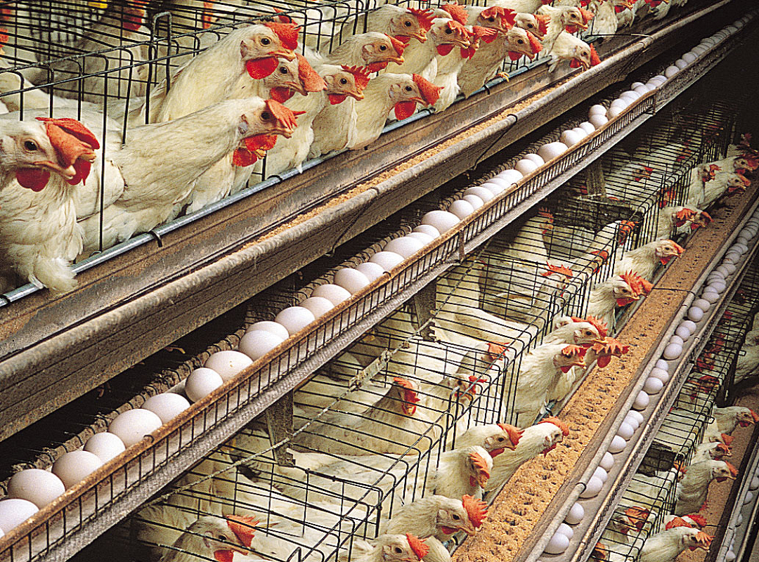 Govt subsidy on poultry farming