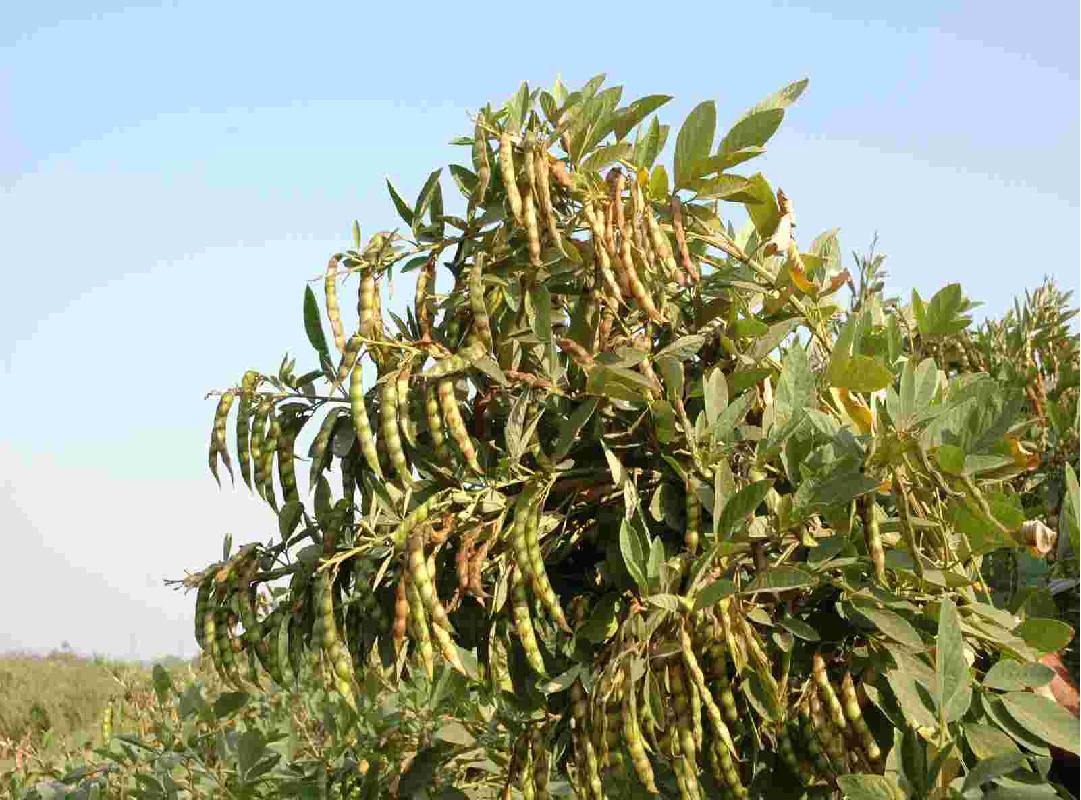 Desi Arhar Tree