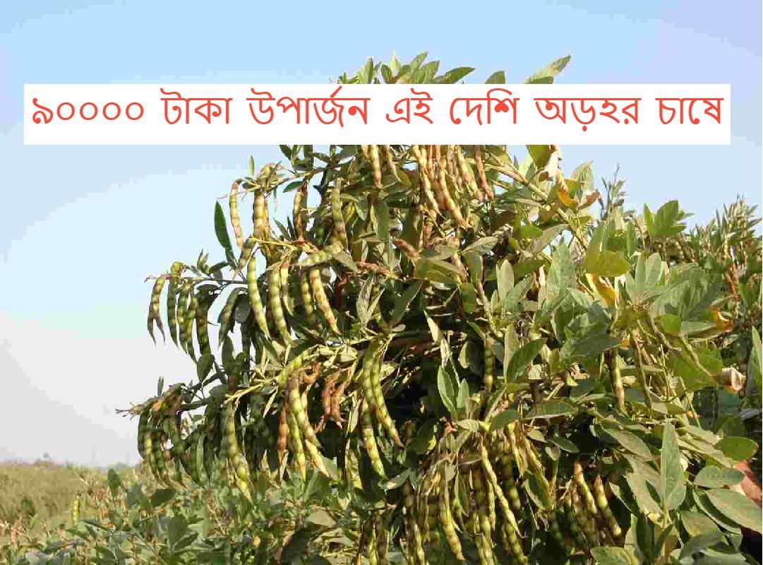 (Native arhar farming) দেশি অড়হরের সাথে সাথী ফসল চাষ করে আয় করুন লক্ষাধিক