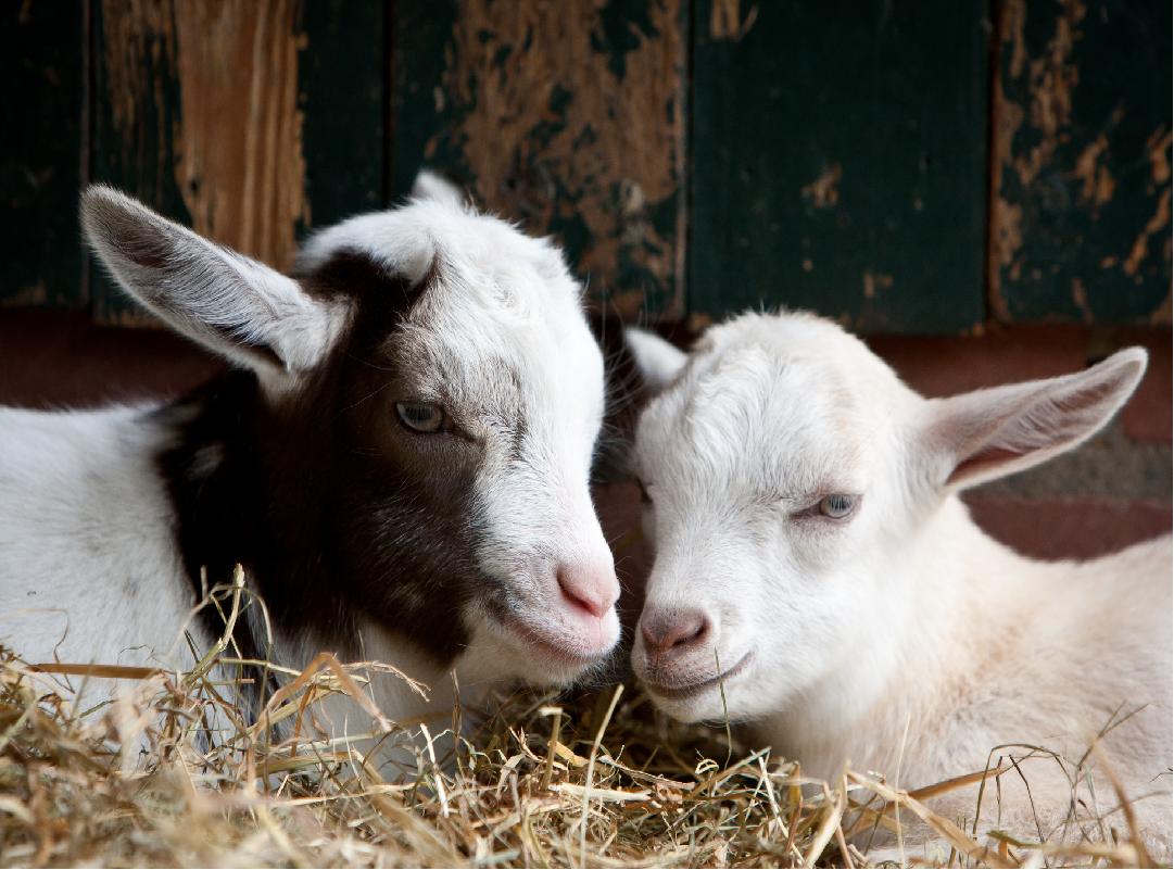 Goat disease prevention