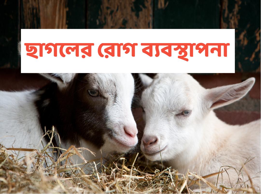 (Goat disease management) উন্নত আয়ের লক্ষ্যে ছাগলের স্বাস্থ্য ব্যবস্থাপনা ও রোগ প্রতিরোধ