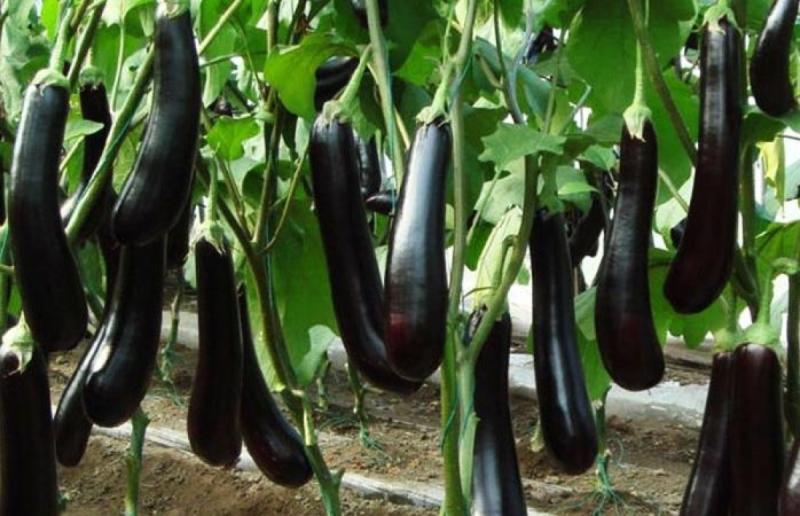 Brinjal Farming
