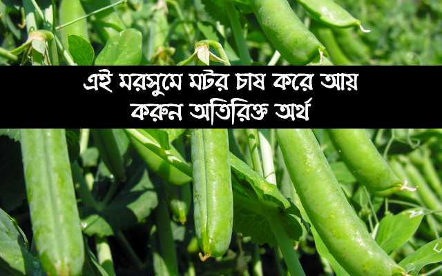 (Pea's cultivation) মটরের এই জাতের চাষ করে উপার্জন করুন দ্বিগুণ অর্থ
