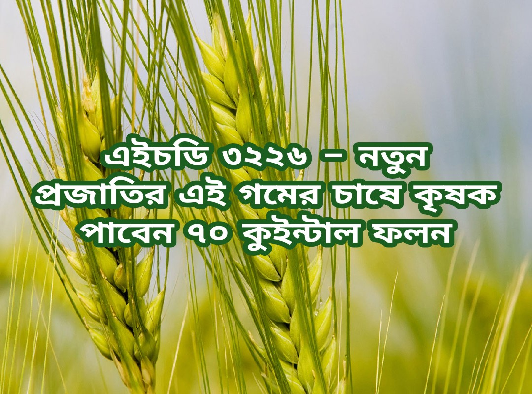 (New variety of wheat) গমের এই নতুন প্রজাতির চাষ দেবে হেক্টর প্রতি ৭০ কুইন্টাল পর্যন্ত ফলন