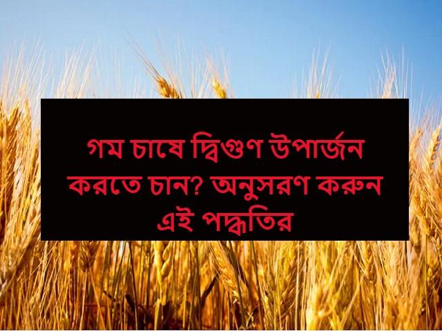 (Wheat cultivation) বপন থেকে ফসল সংগ্রহ পর্যন্ত - এই অক্টোবরে গম চাষে মনে রাখুন এই বিষয়গুলি, উপার্জন হবে দ্বিগুণ