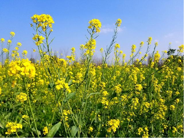 Mustard farming