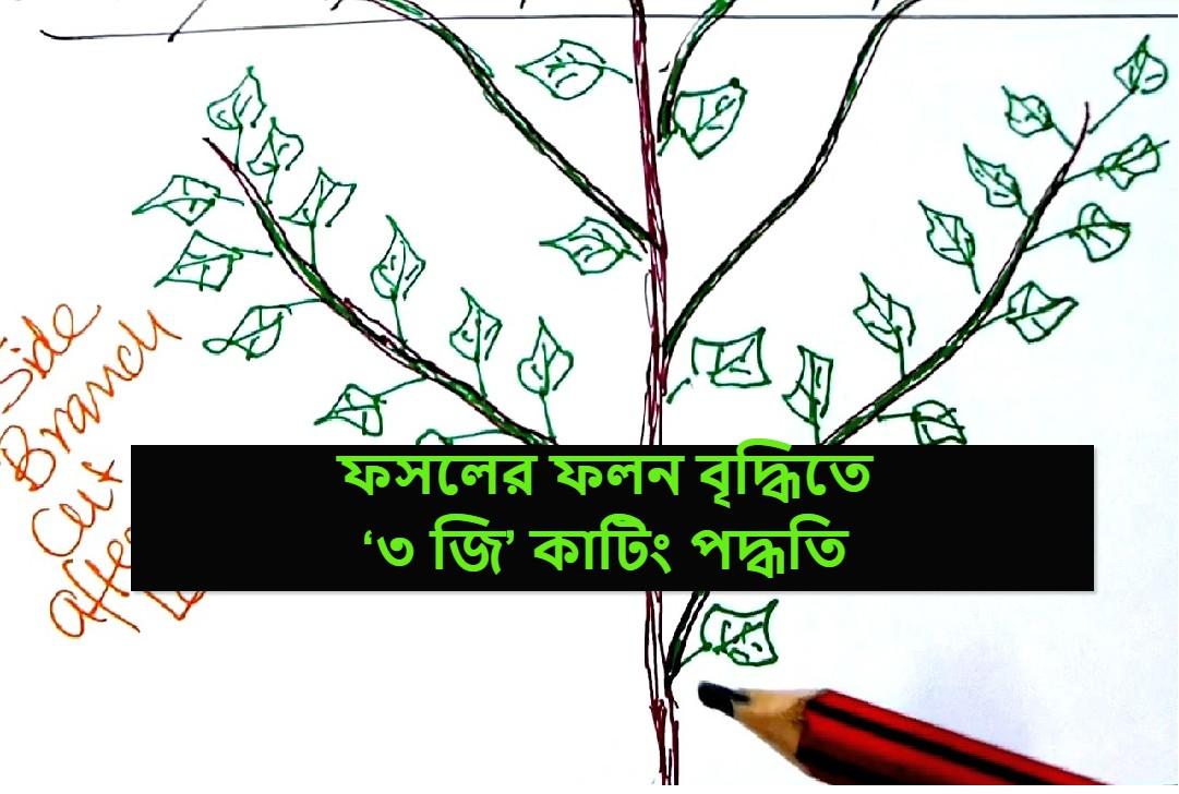 (3G cutting in plant) ফসলের ফলন বৃদ্ধি করতে কিভাবে করব '৩ জি' কাটিং