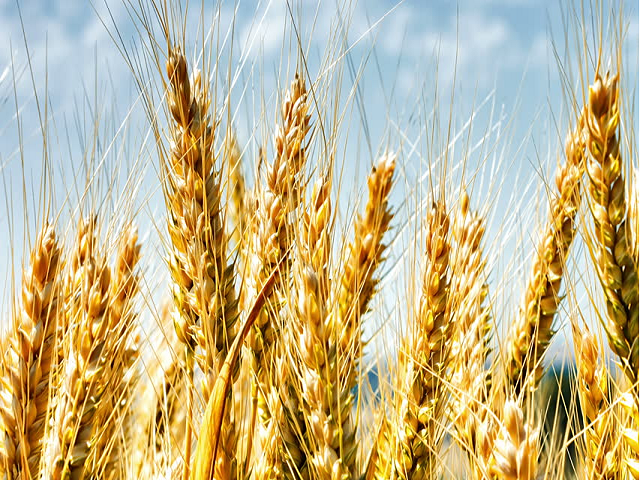 Wheat seed variety