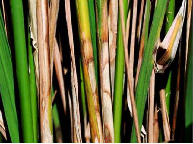 Paddy rot disease