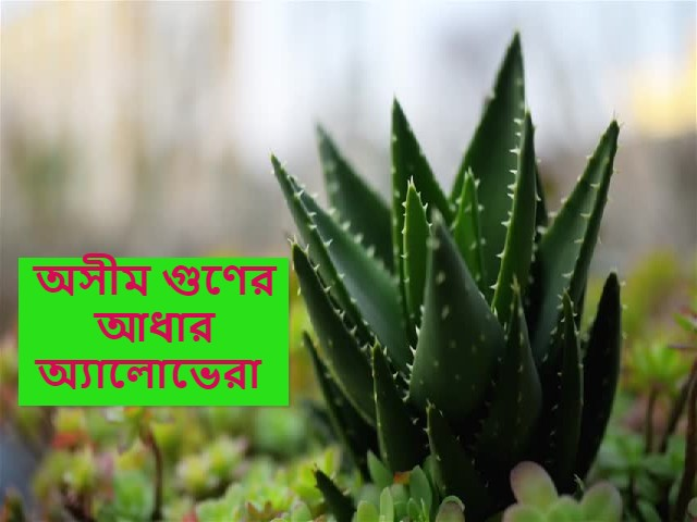 (Aloe vera health benifit) ত্বকের যে কোন ক্ষত/সমস্যা! রয়েছে – সমাধান হাতের কাছেই, ব্যবহার করুন অ্যালোভেরার জেল