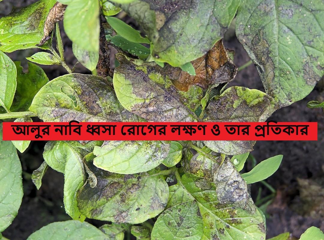(Phytophthora Infestans disease of potato) আলুর নাবি ধ্বসা রোগ প্রতিকার করুন এই পদ্ধতিতে