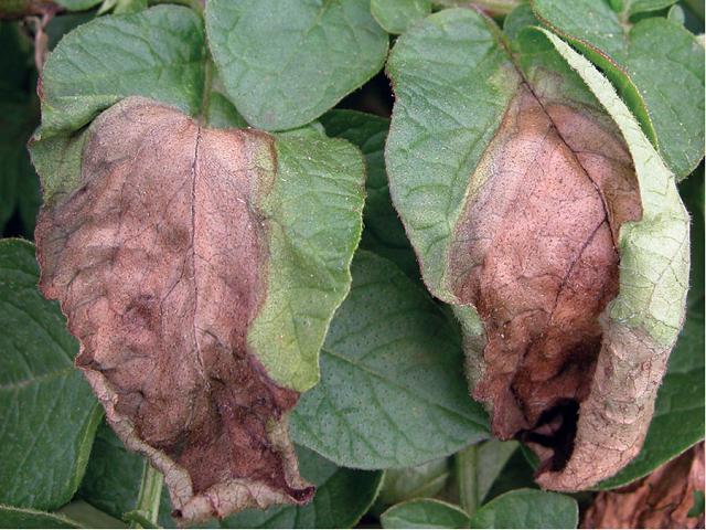 Potato disease  Phytophthora Infestans