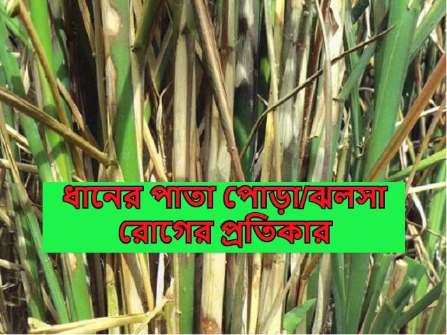 (Blight disease of rice) ধানের ব্যাকটেরিয়াজনিত পাতা পোড়া/ঝলসা রোগের লক্ষণ ও তার প্রতিকার