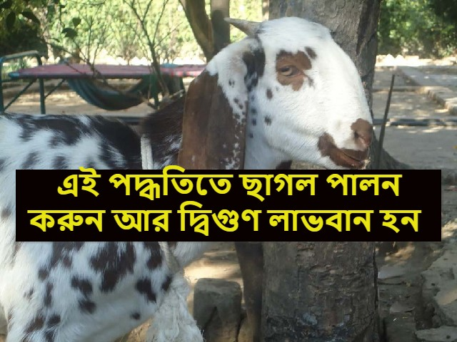 (Goat farming) দ্বিগুণ আয়ের লক্ষ্যে বাণিজ্যিকভাবে বিটল প্রজাতির ছাগল পালন