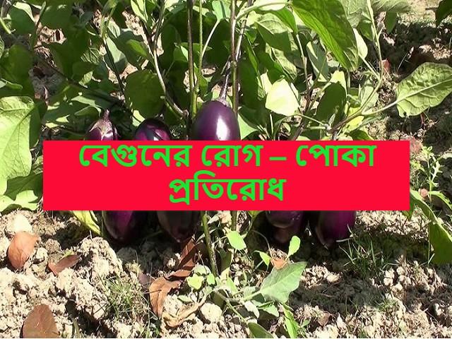 (Pest management of eggplant) বেগুন ফসলকে কীটশত্রুর হাত থেকে কীভাবে রক্ষা করবেন? রইল সমাধান