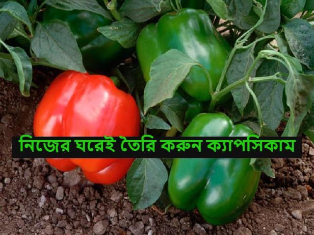 (Home gardening) ক্যাপসিকাম ফার্মিং - বাজার থেকে না কিনে বাড়িতে ব্যবহার করুন নিজের বাগানের সবজী