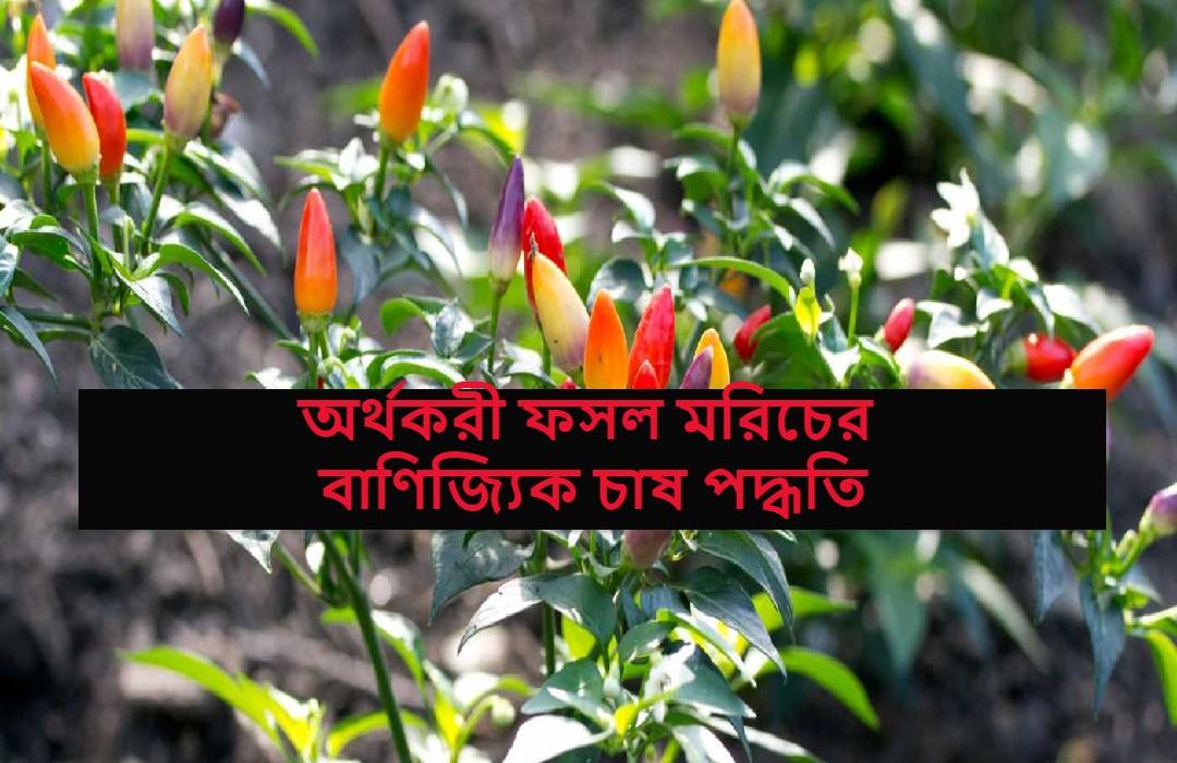 (Green chili cultivation) অর্থকরী ফসল মরিচের বাণিজ্যিকভাবে চাষ করে উপার্জন করুন দ্বিগুণ, জেনে নিন সম্পূর্ণ চাষ পদ্ধতি