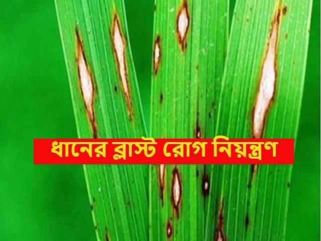 (Paddy disease) ধানের ব্লাস্ট রোগের লক্ষণ ও তার নিয়ন্ত্রণ