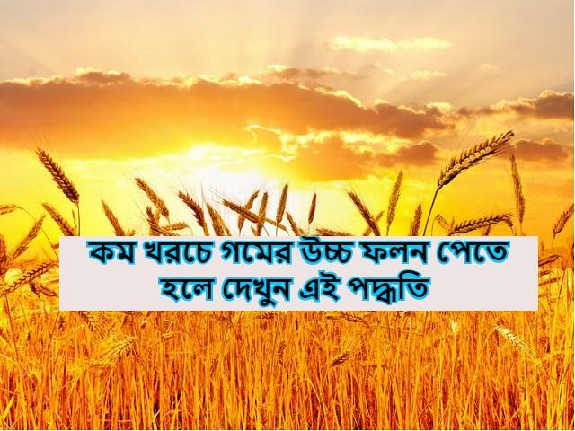 (High yield of wheat at low cost) কম খরচে গমের উচ্চ ফলন পেতে চান? এই পদ্ধতির অনুসরণ করুন