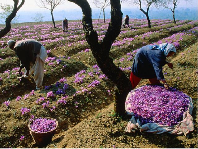 Saffron farming